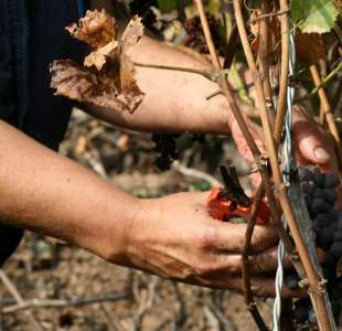 Experience grape harvest